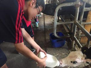 子牛にミルクをあげるA組