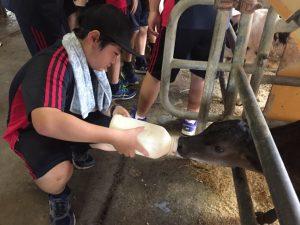 子牛にミルクをあげるD組